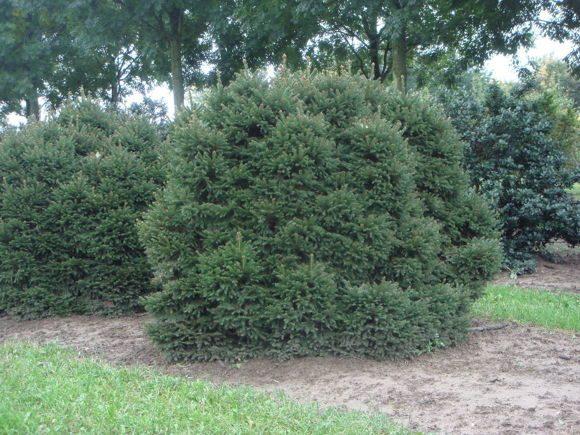 Купить взрослые деревья в Святовит